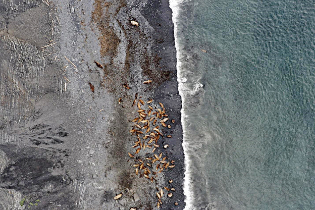 SSL_aerial_survey-Steller_sea_lions_1.jpg
