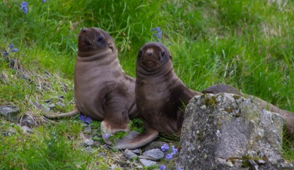 Steller sea lion pups showing external ear flaps and upright posture.