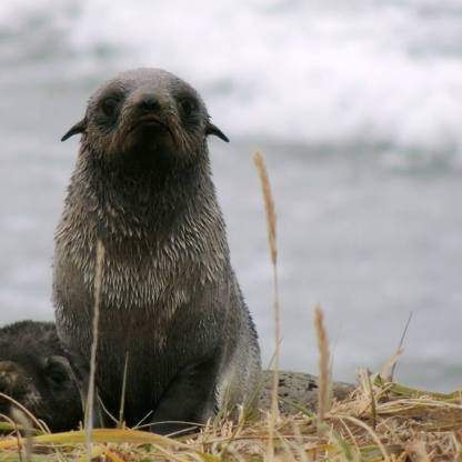 Northern fur seal pup showing external ear flaps and upright posture.