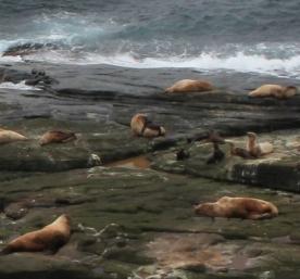 NOAA Fisheries NMFS EPA/MMPA Permit #: 18528 IUCN #: A/NW2013-2